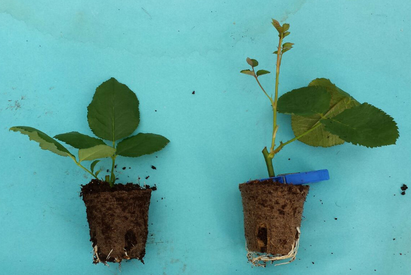 Cutting vs. topgraft on PRO Rootstock